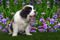 Saint Bernard Puppy Portrait Stock Photo