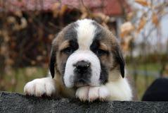 Saint Bernard puppy. A portrait of saint bernard puppy Stock Photo
