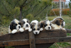 Saint Bernard puppy. Saint bernard puppies five aligned in cart Royalty Free Stock Photography