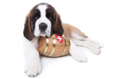 A Saint Bernard puppy with rescue barrel Stock Photography