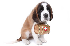 A Saint Bernard puppy with rescue barrel Stock Photos