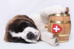 A Saint Bernard puppy with rescue barrel Royalty Free Stock Photography