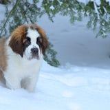 Saint Bernard puppy, swiss national dog stock photography