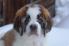 Saint Bernard puppy stock images