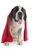 Saint Bernard and scarf Stock Photos