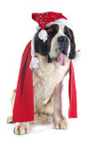 Saint Bernard and scarf Stock Image