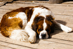 Saint-Bernard sleeping royalty free stock photography