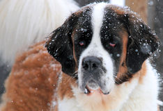 Saint Bernard in the Snow Royalty Free Stock Images