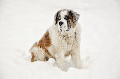 Saint Bernard in snow Stock Image