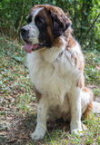 Saint Bernard Royalty Free Stock Photography