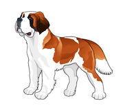 Saint Bernard. Vector isolated dog royalty free illustration