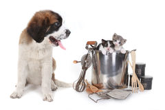 Saint Bernard Watching Kittens Stock Photo