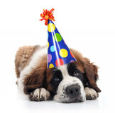 Saint Bernard Wearing a Polka Dot Birthday Hat Stock Images