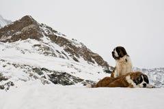 Saint Bernardine dogs in Swiss Alps. Couple of St. Bernardine dogs, original swiss dogs. Rescue dogs. Switzerland stock image