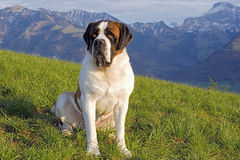 Saint Bernhard Dog Stock Photography