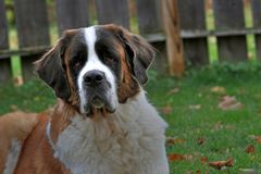 Saint Bernhard dog portrait Stock Photography