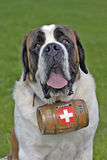 Saint Bernhard Dog Royalty Free Stock Photos