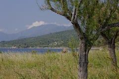 Saint-Florent, landscape with tamarisk tree (Tamarix), Salt cedar in Corsica, France, Europe Stock Images