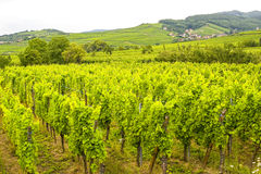 Saint-Hippolyte (Alsace) - Vineyards Royalty Free Stock Photo