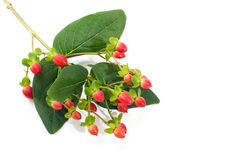 Saint John�s Wort berries Stock Images