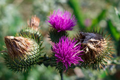 Saint-Mary-thistle purple flowers and thorns. Violet royalty free stock photos
