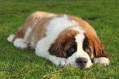 Saint mignon Bernard Purebred Puppy images stock