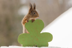 Saint Patrick Day. Close up of red squirrel standing and holding a big green clover Royalty Free Stock Photos