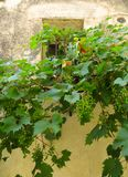 Saint Paul de Vence - Grape over wall Royalty Free Stock Photos