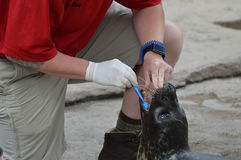 SAINT PAUL, MN - JUNE 2017:  A seal working with a trainer at Como Zoo in St. Paul, MN. Royalty Free Stock Image