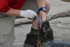 SAINT PAUL, MN - JUNE 2017:  A seal working with a trainer at Como Zoo in St. Paul, MN. Royalty Free Stock Photos