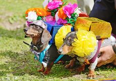 The Dachshund is a hunting dog stock image