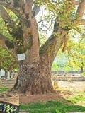 Saint platan tree in church of St. Gerasimos in Ke Stock Photo