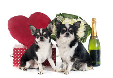 Saint Valentine's Day and chihuahua Stock Images