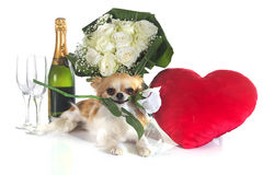 Saint Valentine's Day and chihuahua Royalty Free Stock Photo