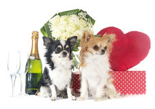 Saint Valentine`s Day and chihuahua Royalty Free Stock Image