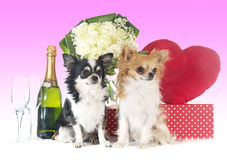Saint Valentine`s Day and chihuahua Stock Image