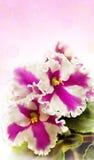 Saintpaulia. Beautiful room elegant flowers on an abstract background Stock Image