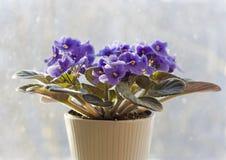 Saintpaulia - african violet Stock Images