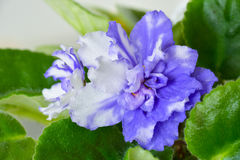 Saintpaulia (african violet) macro Royalty Free Stock Photos