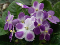 Saintpaulia (African violet) Valeska Viol. Saintpaulia - genus of flowering plants in the family Gesneriaceae herbaceous (Gesneriaceae). One of the most common Royalty Free Stock Photography