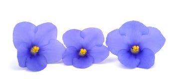Saintpaulia (African violets) Royalty Free Stock Photos