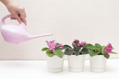 Saintpaulia African violets. Transplanting plants , watering , white background Royalty Free Stock Images