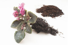Saintpaulia African violets. Transplanting plants , watering , white background Stock Images