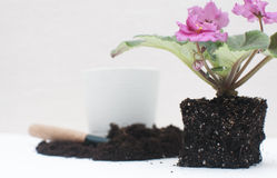Saintpaulia African violets. Transplanting plants , watering , white background Royalty Free Stock Image