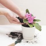 Saintpaulia African violets. Transplanting plants , watering , white background Stock Image