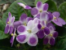 Saintpaulia (Afrikaans viooltje) Valeska Viol Royalty-vrije Stock Fotografie