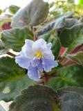 Saintpaulia blu sbocciante di varietà di Anastasia un giorno di molla soleggiato su un davanzale, fotografie stock libere da diritti