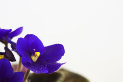 Saintpaulia c Royalty-vrije Stock Afbeeldingen