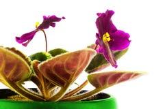 Saintpaulia close-up Two flowers Royalty Free Stock Photos