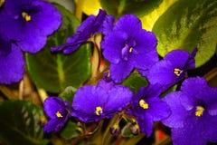 Saintpaulia de la violeta africana Imagen de archivo libre de regalías